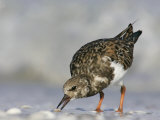 Ruddy Turnstone Feeding  Arenaria Interpres  North America