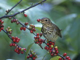 Swainson's Thrush (Catharus Ustulatus) Eating a Spicebush Berry  North America