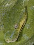 Green Tree Python    Chondropython Viridis  Adult Specimen  Australia  New Guinea