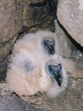 Black Vulture Chicks in the Nest (Coragyps Atratus)  Southern USA