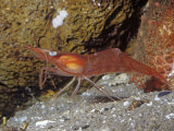Yellowleg Shrimp (Pandalas) Rocky Coast  Alaska to California  USA