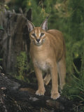 Caracal or African Lynx  Caracal Caracal  Africa