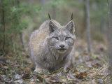 Canada Lynx (Lynx Canadensis)  North America