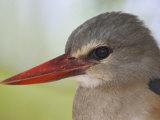 Gray-Headed Kingfisher Head  Halcyon Leucocephala  Kenya  Africa