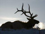 Bull Elk (Cervus Elaphus) in Winter