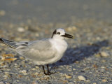 Sandwich Tern  Sterna Sandvicensis  North America