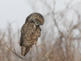 Great Gray Owl (Strix Nebulosa) Hunting\R\N (Strix Nebulosa
