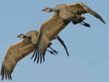 Sandhill Crane  Grus Canadensis  in Flight