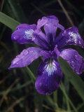 Douglas Iris  Iris Douglasiana  California  USA