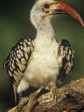 Red-Billed Hornbill  Tockus Erythrorhynchus  East Africa