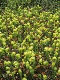 California Pitcher Plant or Cobra Lily  Darlingtonia Californica  California  USA