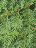 Western Red Cedar Leaves  Thuja Plicata  Western North America