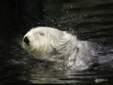 A California Sea Otter (Enhydra Lutris) Shakes Off Sea Water  Monterey  California  USA