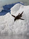 Adelie Penguin (Pygoscelis Adeliae) Paulet Island  Antarctic Peninsula  Antarctica