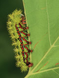 Saturniid Moth Larva or Caterpillar (Molippa Rosea)  Family Saturniidae  Mexico