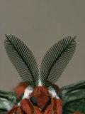 Antenna and Face of Male Cecropia Moth  Hyalophora Cecropia