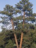 Ponderosa Pines  Pinus Ponderosa  Western North America