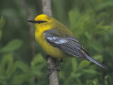 Blue-Winged Warbler  Vermivora Pinus  Eastern USA