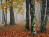 Autumn View of the Foggy Forest Floor and Lichen-Covered Tree Trunks  Eastern USA