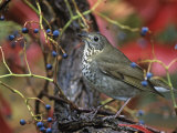 Gray-Cheeked Thrush in Virginia Creeper in the Fall (Catharus Minimus) Eastern USA