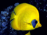 Blue-Cheeked Butterflyfish (Chaetodon Semilarvatus)  Red Sea