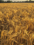 Wheat Crop Ready for Harvest  Triticum Aestivum  Kentucky  USA