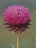 Canada Thistle Flower  Cirsium Arvense  North America