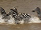 Burchell's Zebras (Equus Burchelli) Running across Mara River  Masai Mara Game Reserve  Kenya