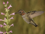 Anna&#39;s Hummingbird Male (Calypte Anna) Feeding at a Hyssop Flower (Agastache)  Arizona  USA