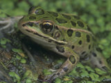 Northern Leopard Frog (Rana Pipiens)  North America