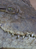 African or Nile Crocodile Head Details  Crocodylus Niloticus  Kenya  East Africa