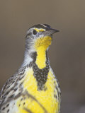 Eastern Meadowlark Head  Sturnella Magna  North America