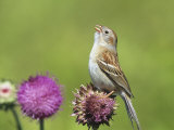 Field Sparrow (Spizella Pusilla) Singing on a Thistle Flower (Cirsium)  North America