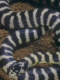 California King Snake Banded Color Phase  Lampropeltis Getulus  California  USA