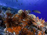 Slate Pencil Sea Urchins (Heterocentrotus Mammillatus) on a Coral Reef  Hawaii  USA