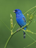 Male Indigo Bunting (Passerina Cyanea)  Eastern USA