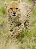 Cheetah Cub Walking Through Savanna Grasses  Actinonyx Jubatus  East Africa