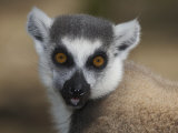 Ring-Tailed Lemur Face (Lemur Catta)  Madagascar