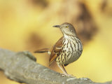 Brown Thrasher (Toxostoma Rufum)  North America