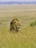 Adult Male Lion (Panthera Leo)  Masai Mara Game Reserve  Kenya