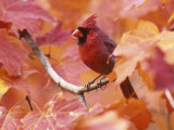Male Northern Cardinal (Cardinalis Cardinalis) in a Fall Maple Tree (Acer)  Eastern USA