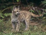 Baby Florida Panther (Felis Concolor)  an Endangered Species  South Florida  USA