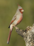 Pyrrhuloxia Male (Cardinalis Sinuatus) on an Oak Branch  Sonoran Desert  Arizona  USA