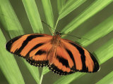 Banded Orange Heliconian Butterfly (Dryadula Phaetusa)  Family Heliconiidae