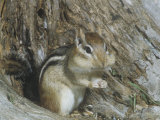 Eastern Chipmunk (Tamias Striatus)  Eastern North America  with Cheeks Stuffed with Seeds
