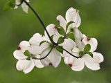 Flowering Dogwood Flowers  Cornus Florida  Louisville  Kentucky  USA