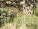 A Puma  Cougar or Mountain Lion  Felis Concolor  Torres Del Paine  Chile  South America
