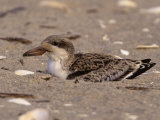 Black Skimmer Fledgling  Rhynchops Niger  on a Beach  Southern USA