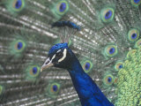 Close-Up of a Male Peacock Displaying (Pavo Cristatus)