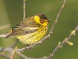 Cape May Warbler  Dendroica Tigrina  Eastern USA